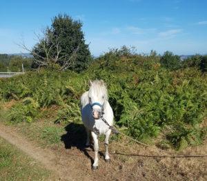 Auf dem Weg nach Pontedeume traf ich auf ein Pony :- )