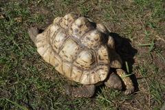 Afrikanische Landschildkröte