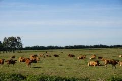 Gaaanz viele Kühe